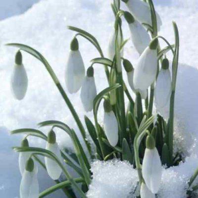 Bijna lente, sneeuwklokjes in de sneeuw