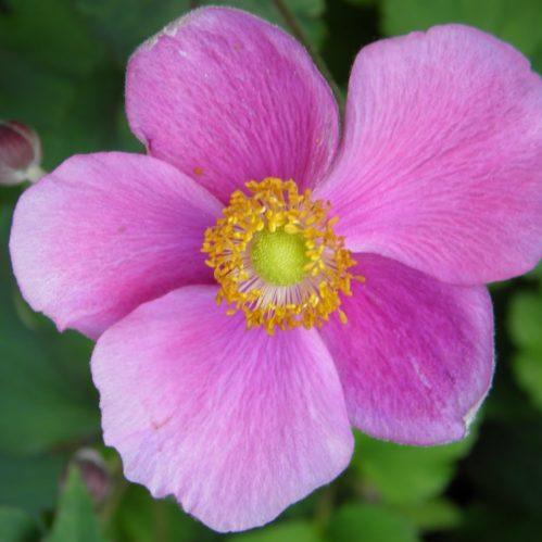 Anemone hybr. Hadspen Abundance