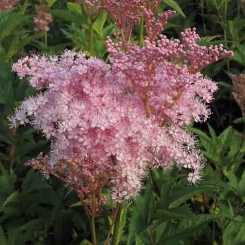 Filipendula rubra Venusta Magnifica - Moerasspirea