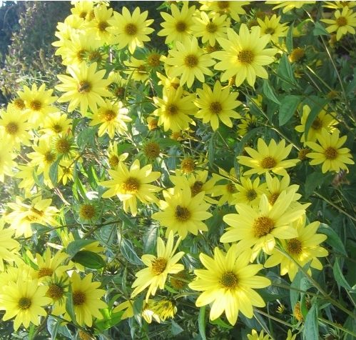 Helianthus Lemon Queen - Zonnebloem