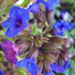 Pulmonaria angustifolia Blue Ensign