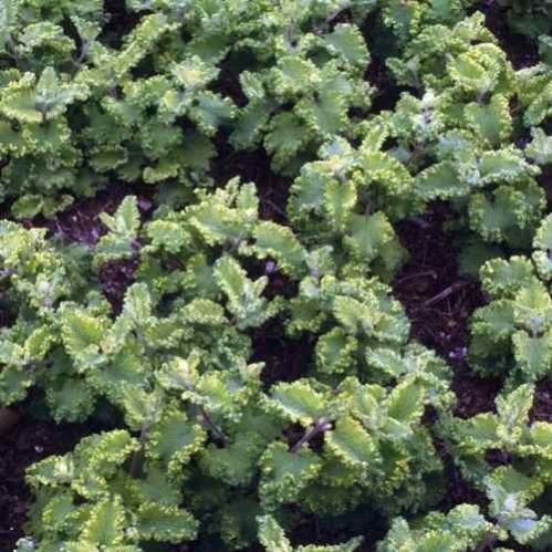 Teucrium scorodonia Crispum Marginatum - Gamander