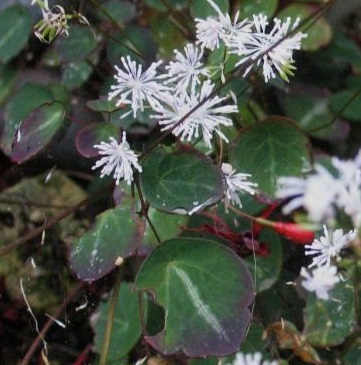 Thalictrum ichangense Purple Mable