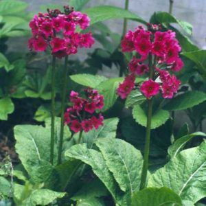 Primula japonica Millers Crimson - Sleutelbloem