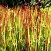 Imperata cylindrica Red Baron - Japans Bloedgras