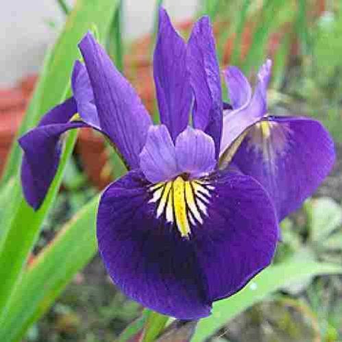 Iris x versilaev Princess