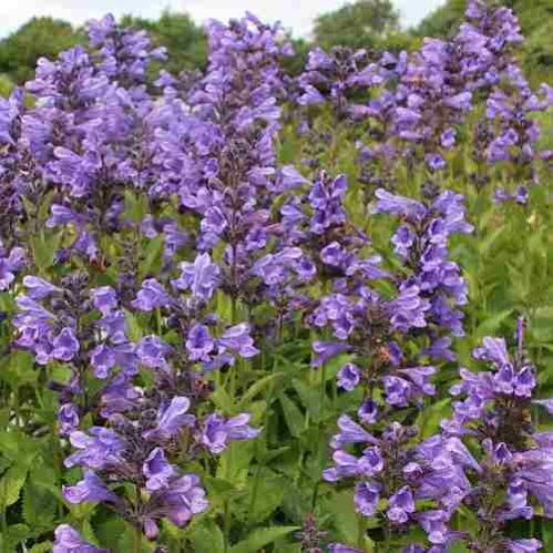 Nepeta yunnanensis Blue Dragon