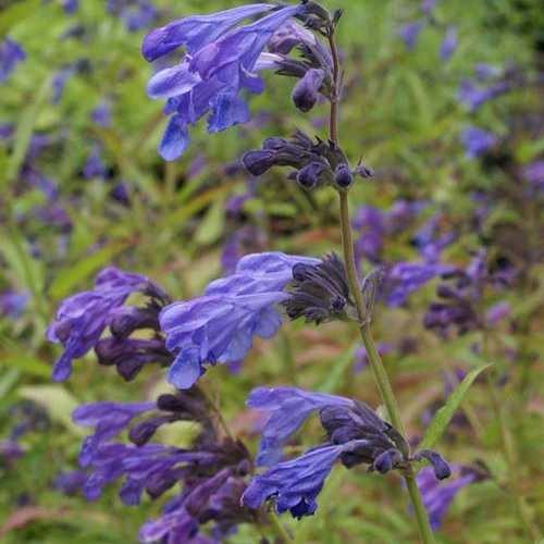Nepeta yunnanensis Blue Dragon - Kattekruid