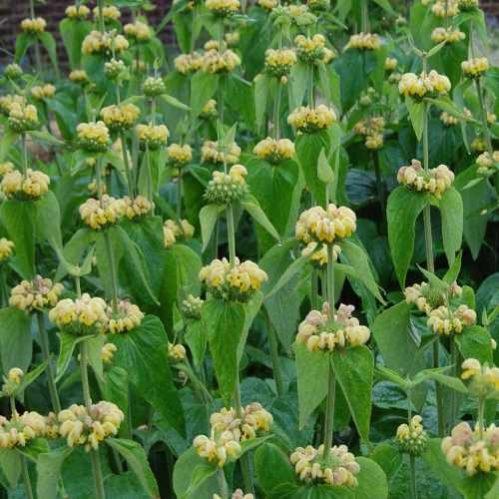 Phlomis russeliana - Brandkruid
