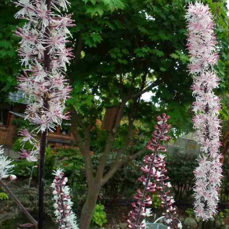 Cimicifuga simplex Pink Spike - Zilverkaars - Actaea