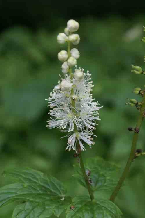 Cimicifuga arizonica - Zilverkaars Actaea