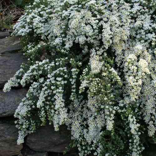 Aster ericoides f. prostratus Snow Flurry