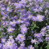 Aster thompsonii