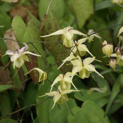 Epimedium Flowers of Sulphur - Elfenbloem