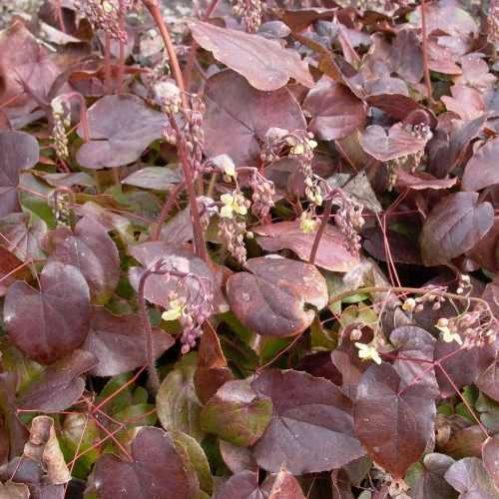 Epimedium pinnatum subsp. colchicum Black Sea