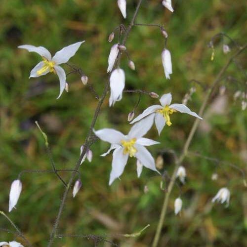 Epimedium stellulatum Wudang Star - Elfenbloem