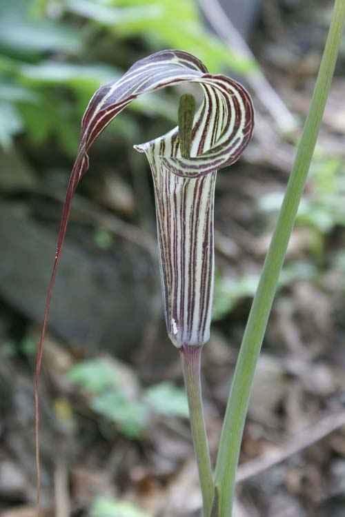Arisaema ciliatum var. liubaense Jan-op-de-Preekstoel