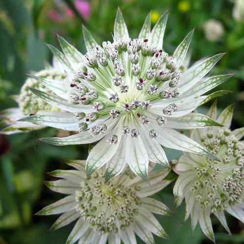 Astrantia Star of Billion - Zeeuws Knoopje