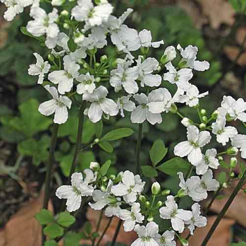 Cardamine trifolia - Klaverkers