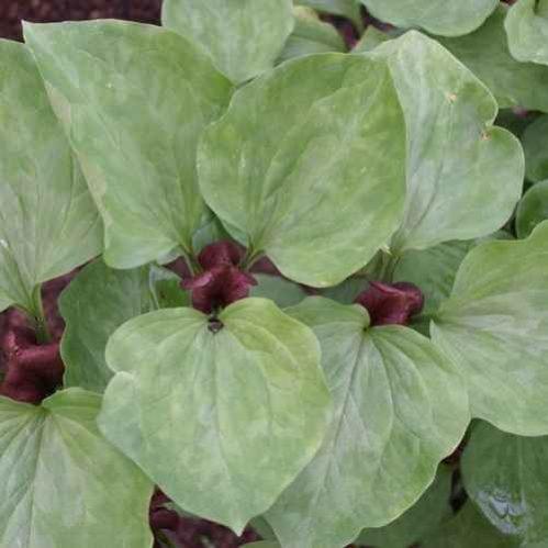 Trillium recurvatum - Boslelie