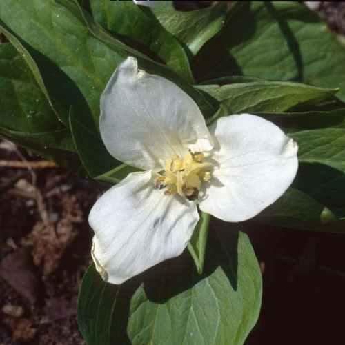Trillium flexipes - Boslelie