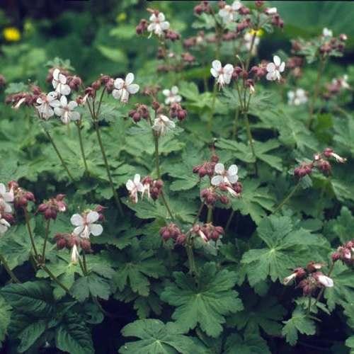Geranium macrorrhizum Spessart - Ooievaarsbek