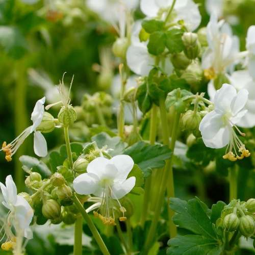 Geranium macrorrhizum White Ness - Ooievaarsbek