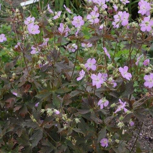 Geranium maculatum Elizabeth Ann - Ooievaarsbek