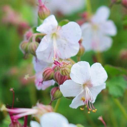 Geranium x cantabrigiense St. Ola - Ooievaarsbek