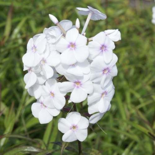 Phlox maculata Delta -Vlambloem - Floks