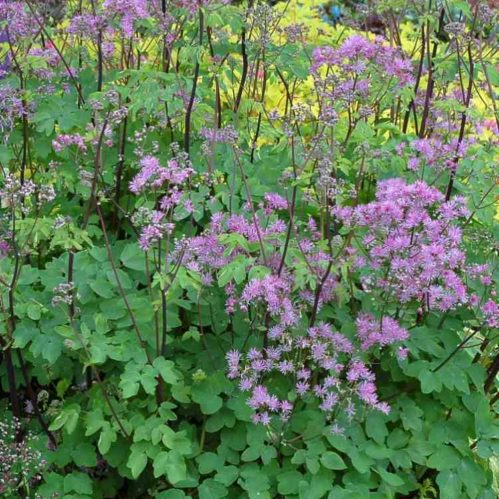 Thalictrum aquilegifolium Black Stockings