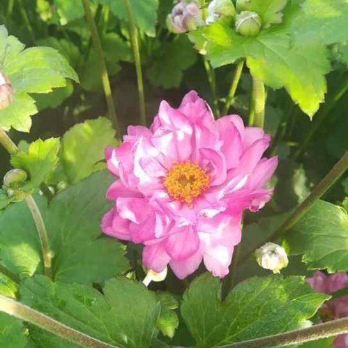 Anemone Carmen - Herfstanemoon