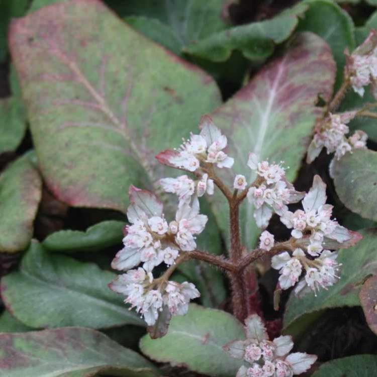 Chrysosplenium macrophyllum - Goudveil2