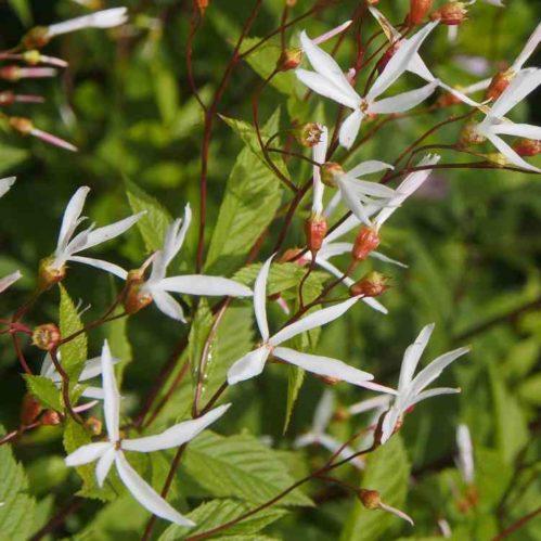 Gillenia trifoliata - Driebladige braakwortelspirea