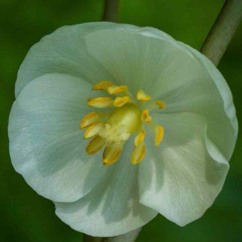 Podophyllum peltatum - Voetblad