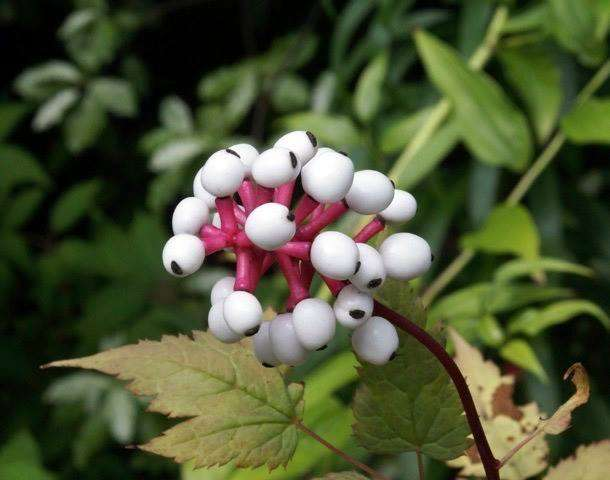 Actaea pachypoda Misty Blue berries 2 - photo by Billy Moore