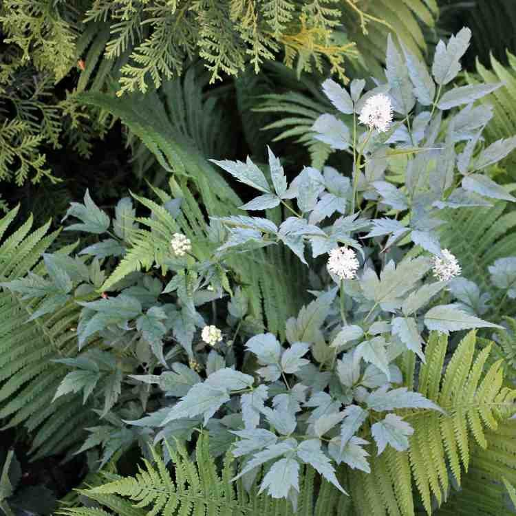 Actaea pachypoda Misty Blue - Christoffelkruid