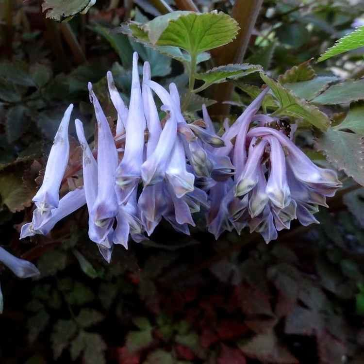 Corydalis Chocolate Stars photo by De Stekkentuin