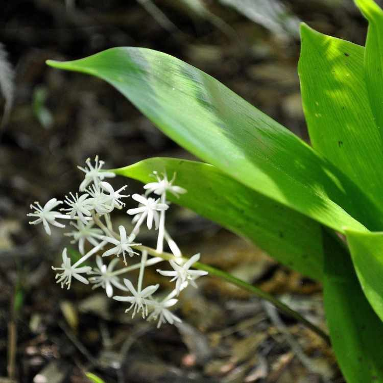 Speirantha gardenii - credits Joyce Grigonis