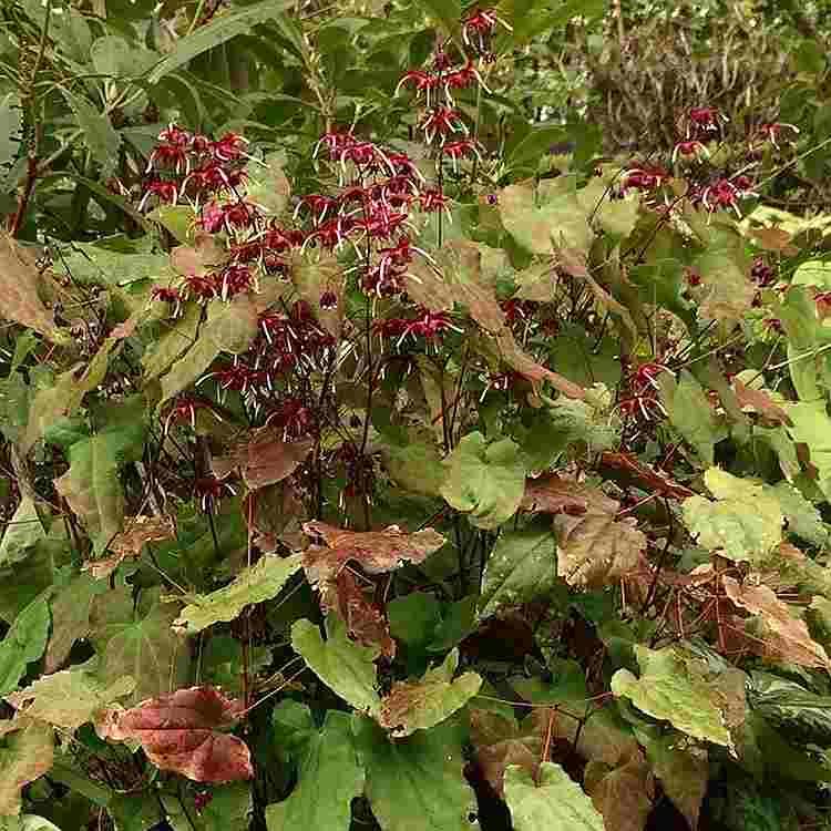 Epimedium Red Maximum