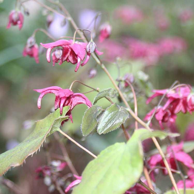Epimedium Royal Purple - Elfenbloem