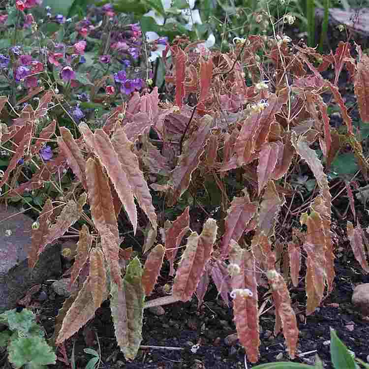 Epimedium Spine Tingler - Elfenbloem