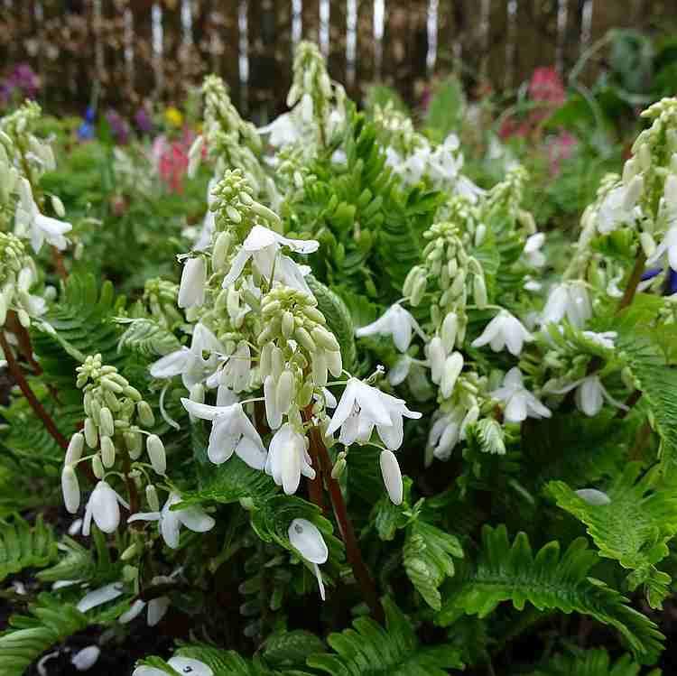 Pteridophyllum racemosum - Schijnvaren