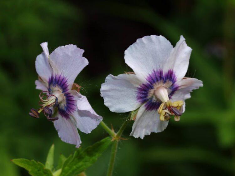 Geranium phaeum Wendy's Blush - Ooievaarsbek