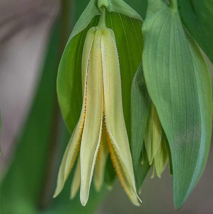 Uvularia perfoliata - Huigkruid