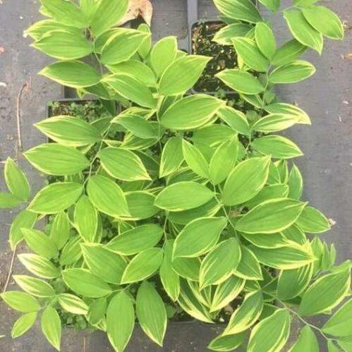 Uvularia sessilifolia Cobblewoods Gold